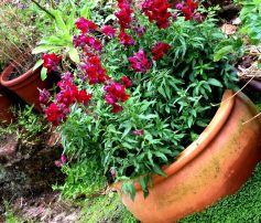 Terracotta Pot of Snapdragons